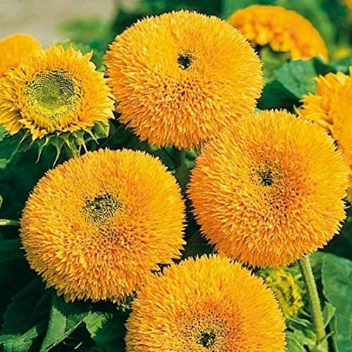 Qulista Samenhaus - 30pcs Selten Sonnenblume Teddybär Helianthus Sonnenblumensaat Blumensamen als Schnittblumen einjährig im Blumenbeet