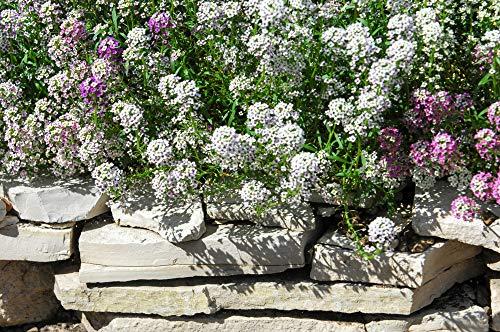 Duft-Steinrich, Steinkraut weiß 250 Samen, Lobularia maritima (Alyssum White)