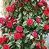 Camellia japonica Black Lace   Camélia rouge   Arbuste d'ornement   Hauteur 30-40cm   Pot Ø 15cm #3