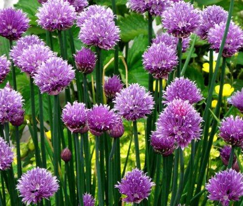CHIVES COMMUN BIO Allium schoenoprasum - 100 graines en vrac