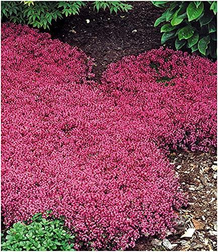 BALDUR Garten Winterhart Bodendecker-Thymian, 3 Pflanzen Thymus Polsterthymian Thymian Pflanze winterhart