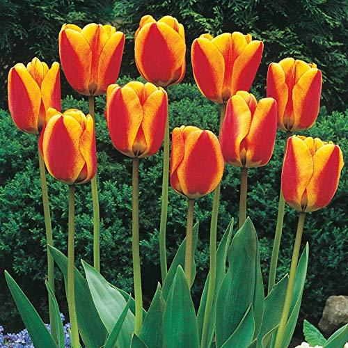 Bulbos de flor de tulipán / Histórico / Estilo único / Magníficos colores/ Plantas de jardín-Color mezclado,10 Bombillas