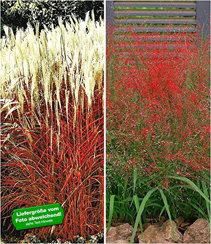 BALDUR-Garten Ziergras-Kollektion winterhart, 4 Pflanzen Ziergras Indian Summer Chinaschilf und Rote Liebesgras Eragrostis spectabilis