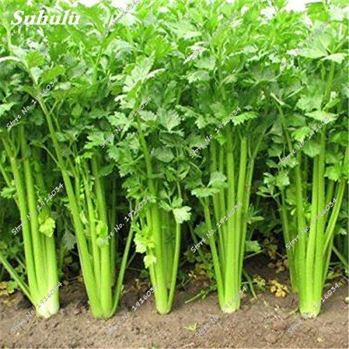 Recommander Seeds! Céleri semences Rare Bonsaï Graine de Persil non-OGM légumes semences biologiques bricolage jardin ménage 300 pièces