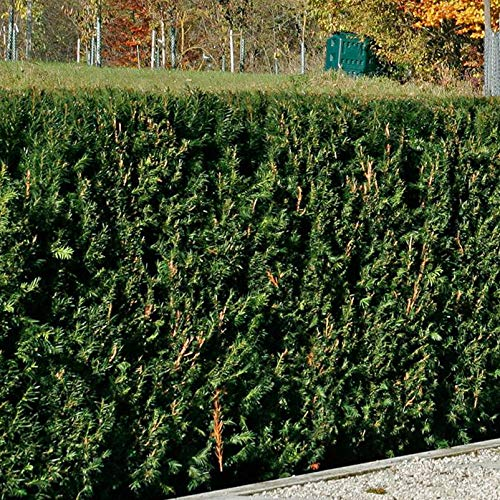 Pflanzen Kölle 3er-Set Heckeneibe Taxus baccata 'Westerstede', Höhe 40-50 cm, im 5 Liter Topf