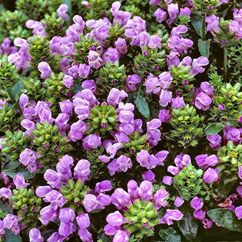 3ST Prunella Grandiflora | Braunelle Lila | Lieferhöhe 10-15cm | Topfgrö?e Ø7cm