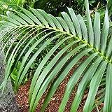 Howea forsteriana - Kentia - Maceta de 21cm - 100/125cm de altura
