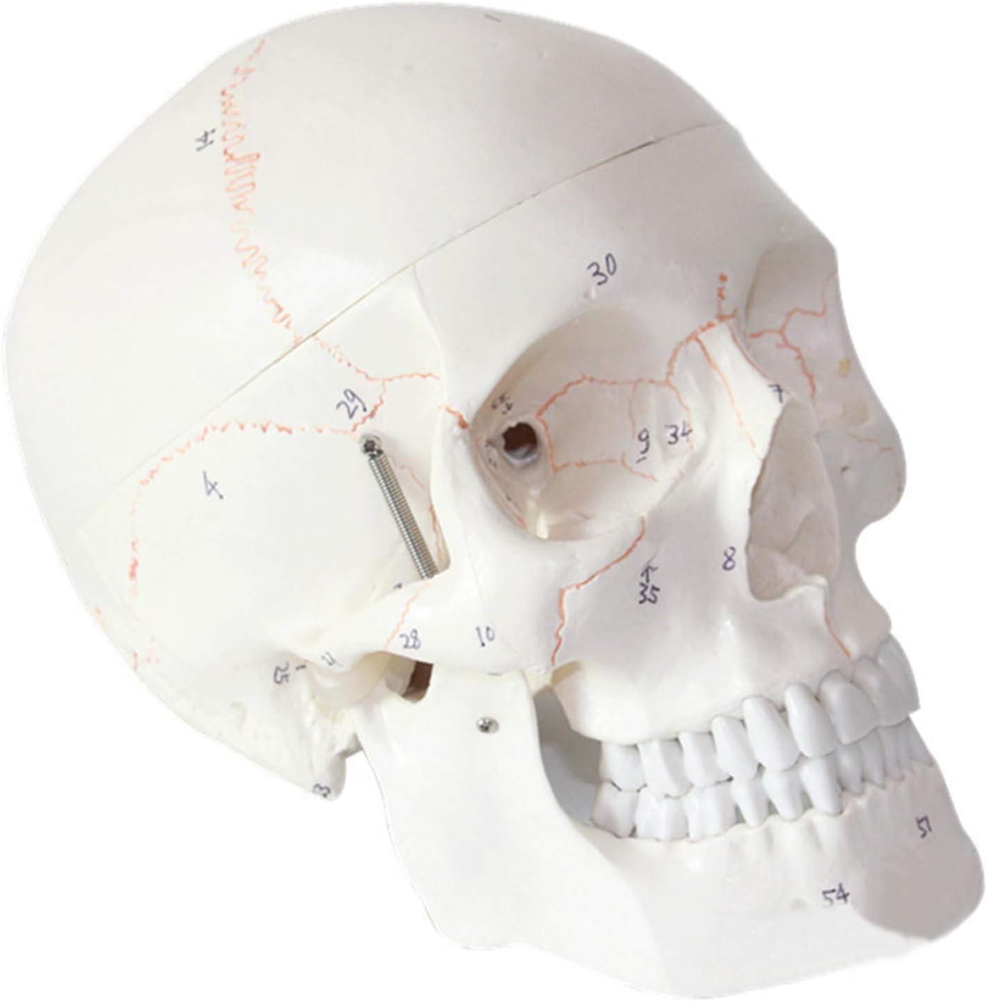 EnweMahi Human Skull Model with Digital Mo Large discharge Shipping included sale Logo Detachable