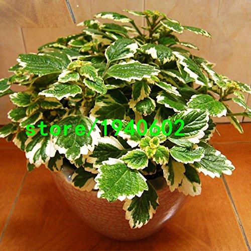 Promotion! Variétés vertes des plantes de légumes menthe Graines de menthe poivrée Balcon pot aromatique Plante 200PCS