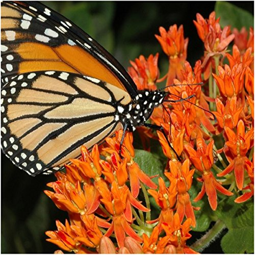 Seed Needs, Butterfly Milkweed Seeds for Planting (Asclepias tuberosa) Twin Pack of 100 Seeds Each