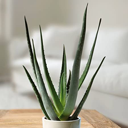 Aloe Vera - Planta grande (1 planta)