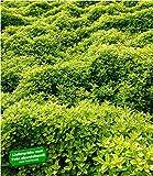 BALDUR Garten Bodendecker Zitronenthymian, 3 Pflanzen Thymus citriodorus aureus Polsterthymian Thymian Pflanzen winterhart