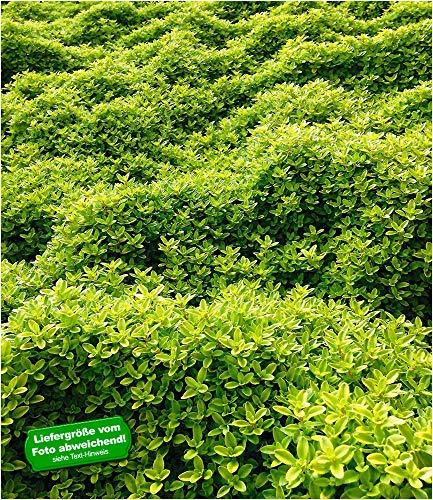 BALDUR-Garten Bodendecker Zitronenthymian; 3 Pflanzen Thymus citriodorus aureus Polsterthymian Thymian Pflanzen winterhart