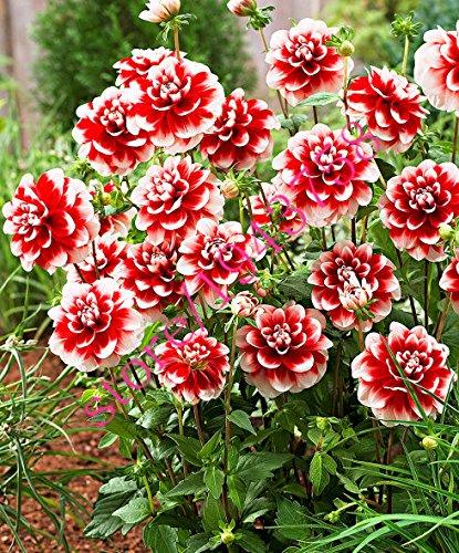 20 pcs vrai dahlia fleur graines de dahlia (pas les bulbes de dahlia), et chanceux symbolise le courage, graines de fleurs bonsaï vivaces jardin maison 9