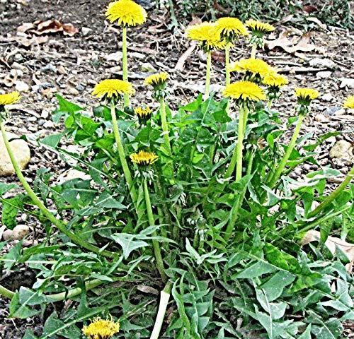 10.000 Löwenzahn Samen, Taraxacum officinale, Heilkraut, für Wildkräutersalat oder Tee