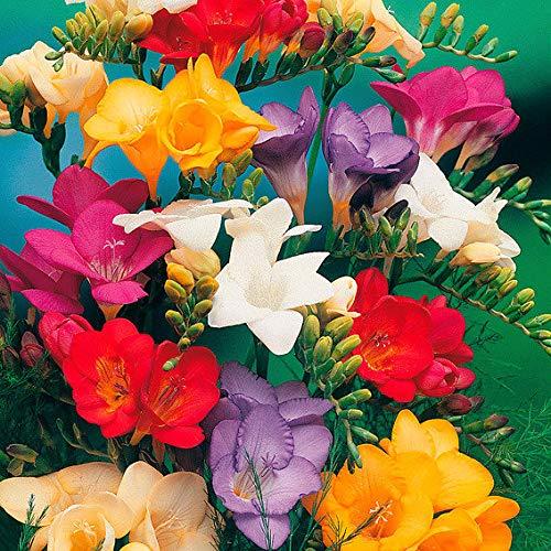 Soteer Garten - Freesien & Ranunkel-Mix Samen Duft-Freesien Blumensamen Blumenmeer Sommerblumen Gartenpflanzen duftend mehrjährig winterhart (20 Stück)
