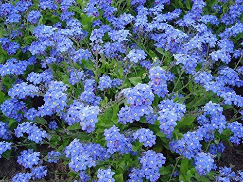 Petsdelite® Vergissmeinnicht Samen Cynoglossum Amabile, mehrjährig, ca. 1.300 Samen