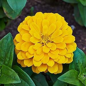 David's Garden Seeds Flower Zinnia Solid Color Canary Bird 1158 (Yellow) 200 Non-GMO, Heirloom Seeds