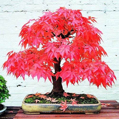 2 : 10 semillas de arce rojo raras canadamini bonsai moradas de arce bonsái para maceteros 2
