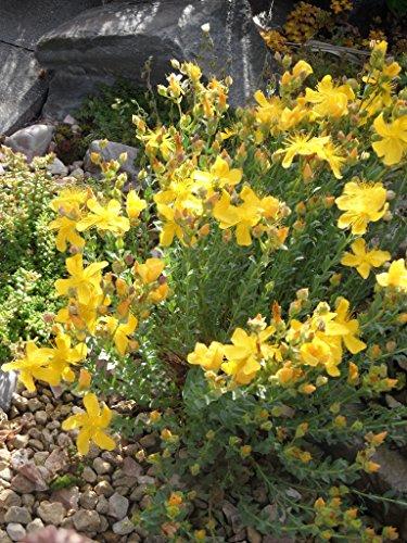 Hypericum polyphyllum - Zwerg-Johanniskraut, 6 Pflanzen im 5/6 cm Topf