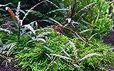 hygrophila pinnatifida - in-vitro - piante vive per acquario