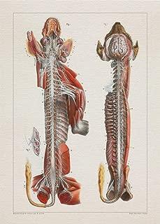 Anatomy DOG NERVOUS SYSTEM print SRA3 12x18 conqueror laid paper