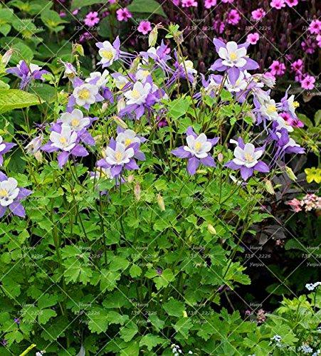 100PCS Double Aquilegia (Columbine) Graines rares Bonsai Graines de fleurs longue saison Bloom plantes vivaces pour jardin 3