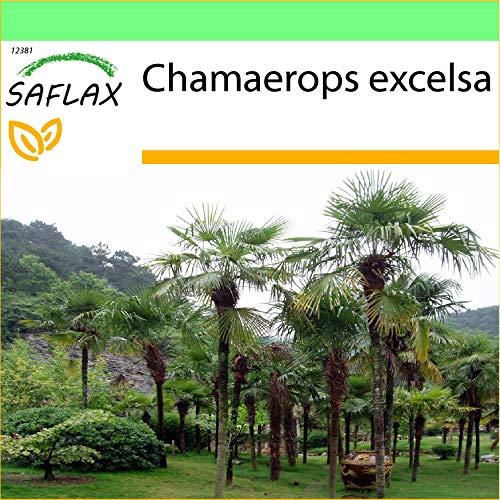 SAFLAX - Jardin dans la boîte - Palmier à chanvre - 10 graines - Chamaerops excelsa