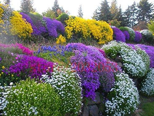Green Seeds Co. Rock Cress 100 Teile/los Aubrieta Cascade Lila Blume Pflanzen Hervorragende Mehrjährige Bodendecker Für Hausgarten Balkon Windowsill: Hellgrau