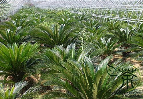 Famille Cycadaceae Cycas Revoluta Seeds 90g, très populaires vivaces Graines Sago Palm jardinage, plantes ornementales Roi Sago Graines