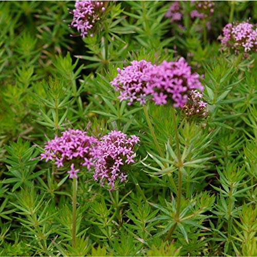 Blumixx Stauden Phuopsis stylosa -...