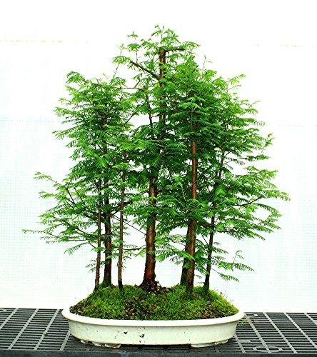 ASTONISH ERSTAUNEN SEEDS: 50 + 50 Samen Red Wald Bonsai Samen Bonsai-Baum Metasequoia glyptostroboides Wachsen Sie Ihre eigene Bonsai-Baum