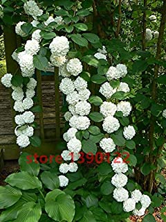 20 semillas de semillas / bolsa de hortensias, hortensias china, flores de hortensia bonsai, 11 colores semillas de flores...