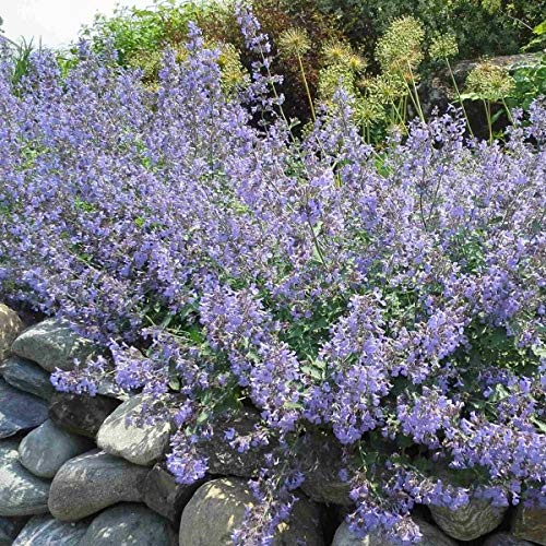 Catmint (Nepeta Subsessilis Grand View Mix) 300 Seeds