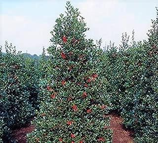 Robin Red Holly Tree - Live Plant - 3 Gallon Pot