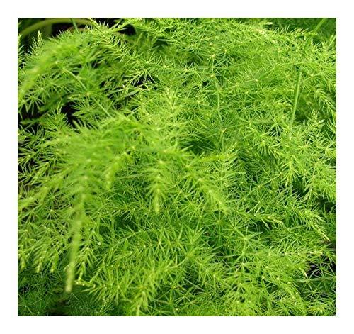 Asparagus plumosus - Asparagus - 10 graines
