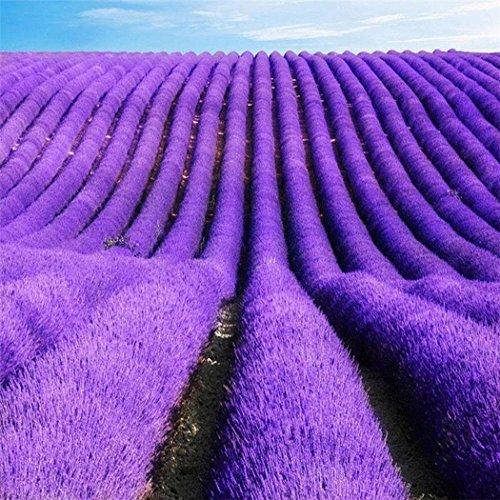 Keptei Samenhaus- Echter Lavendel Samen (Lavandula angustifolia) Topfpflanze duftend mehrjährig winterhart, Premium Saatgut kommen aus Provence