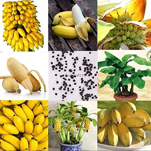 AGROBITS 10P / Sac: Mini Banana Graines Nain Bananier graines Bonsai Fruit Rare Jardinerie Btl8 01