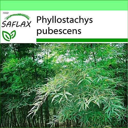 SAFLAX - Jardin dans la boîte - Bambou Moso - 20 graines - Phyllostachys pubescens