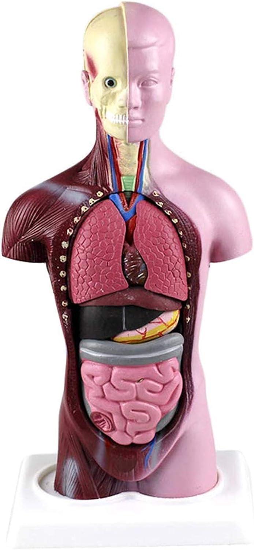 QIQIZHANG Anatomy Model Mini Human 28CM Visceral Ranking TOP16 Ranking TOP11 - Torso