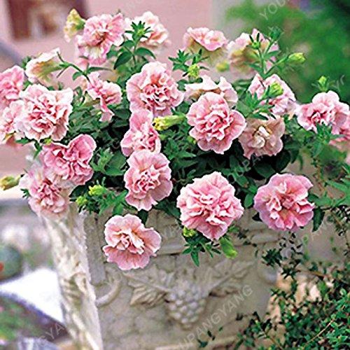 100pcs Bonsai Petunia pétales Graines couleurs mélangées Double Petunia Hybrid Seeds avec pack professionnel jardin décoration florale pourpre