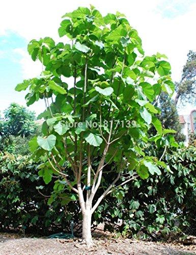 Graines Nouveau jardin des plantes 2 graines Tectona Grandis Teak Tropical Hardwood Arbre Livraison gratuite