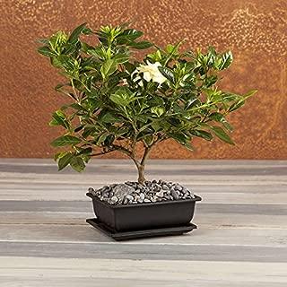 Fragrant Gardenia Bonsai - Bonsai Tree - Flowering Plant - Flowering Bonsai Tree - Live Plant - Green Gift - Cut Flower Alternative - Ships fast via 2-Day Air