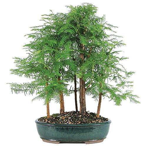 Brussel's Live Dawn Redwood Grove Outdoor Bonsai Tree - 5 Years Old; 10' to 14' Tall with Decorative Container