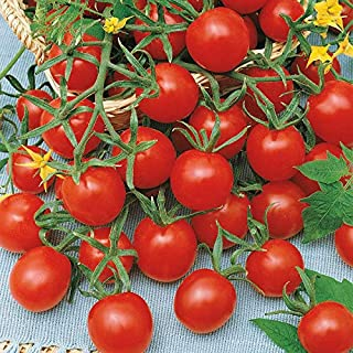 Ladybug F1 Hybrid Tomato Seeds - They are ultra sweet and very flavorful.!!!(10 - Seeds)