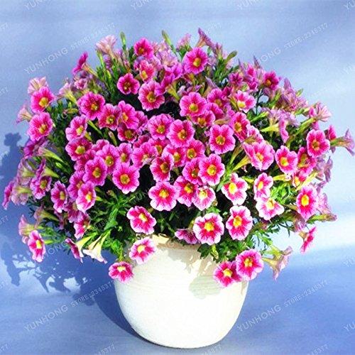 Escalade Pétunia Graines de fleurs Jardin Bonsai Balcon Petunia hybrida semences de fleurs de 20 espèces végétales Bonsai facile à cultiver 100 Pcs 14