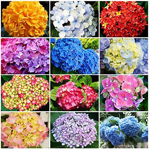 50 Pcs Mixed Color Multicolor Hydrangea Macrophylla Seed Bonsai Flower Plant Wedding Seeds