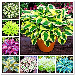 Hostas For Sale >> Amazon Com Hostas Flowers Plants Seeds Bulbs Patio