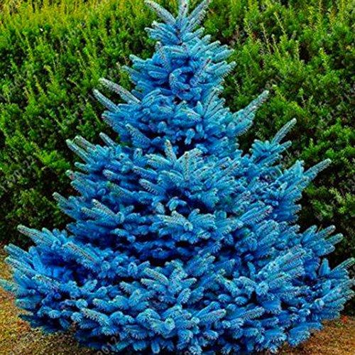 20 semillas de árbol de abeto azul – semillas de flores de jardín, bonsái, decoración del hogar y la oficina