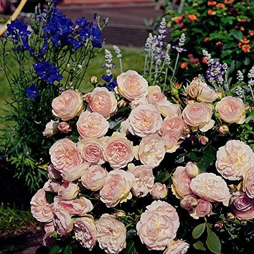 'Pastella' (R), Beetrose, ADR-Rose im 4 L Container